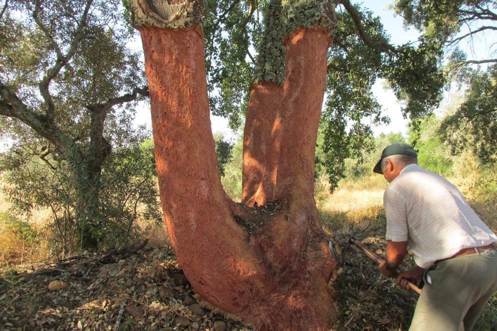 Récolte du chêne liège